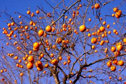 Keuken Fineer Laat Los : Sharon Fruit Persimmons