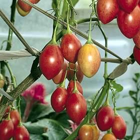 tomatenboom