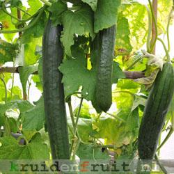 sq_cucumber_pyralis_004