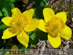 Caltha_palustris_003